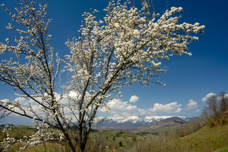 51326436-blossom-fruit-tree-against-snow-covered-mountains-background-springtime-in-transylvania-romania